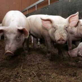 elevage-porc-