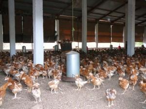 ferme poulet